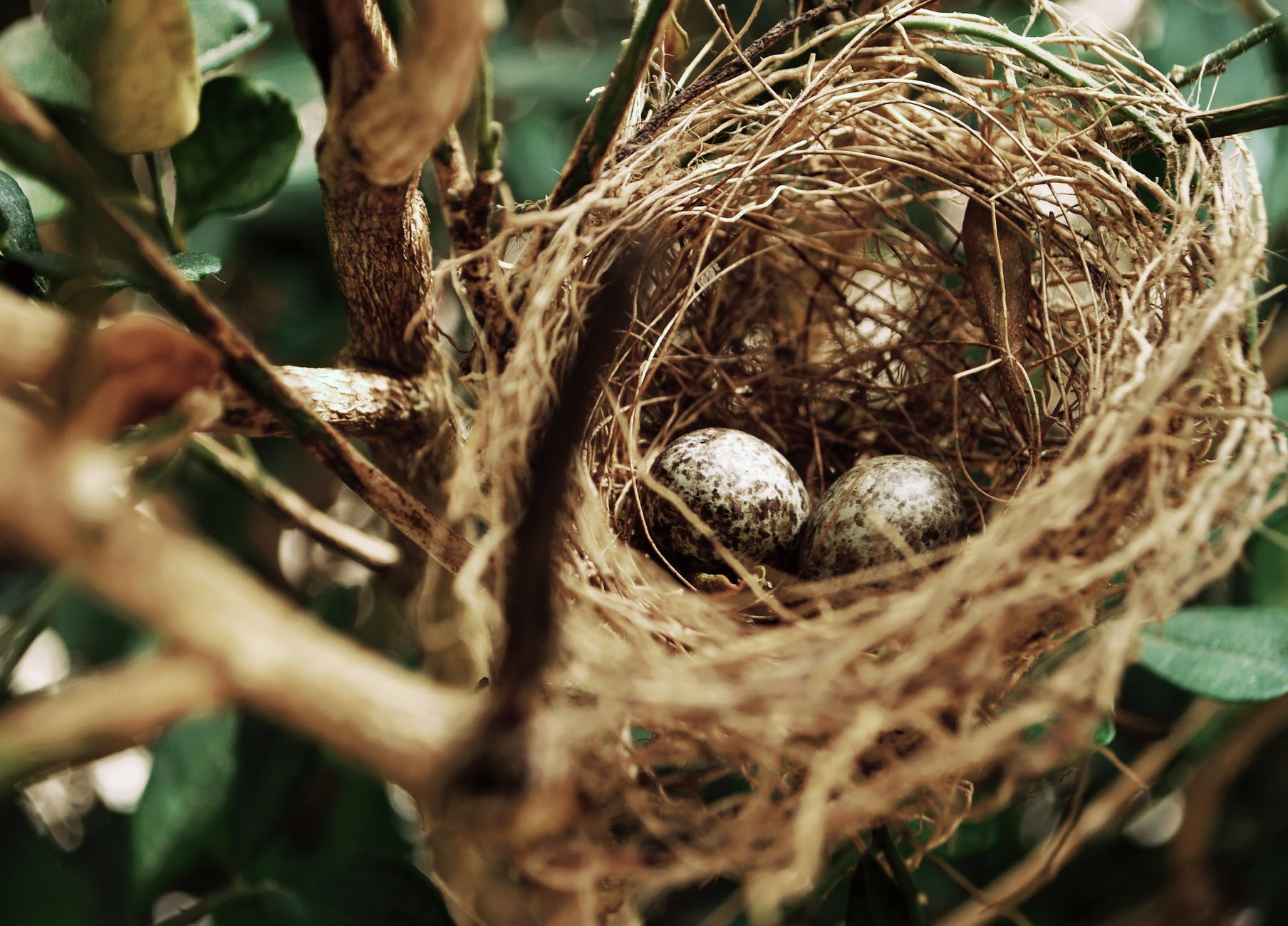 two birds egg on a nest