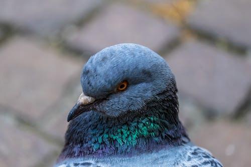 Ảnh lưu trữ miễn phí về chim bồ câu, con vật, loài vật, thú vật