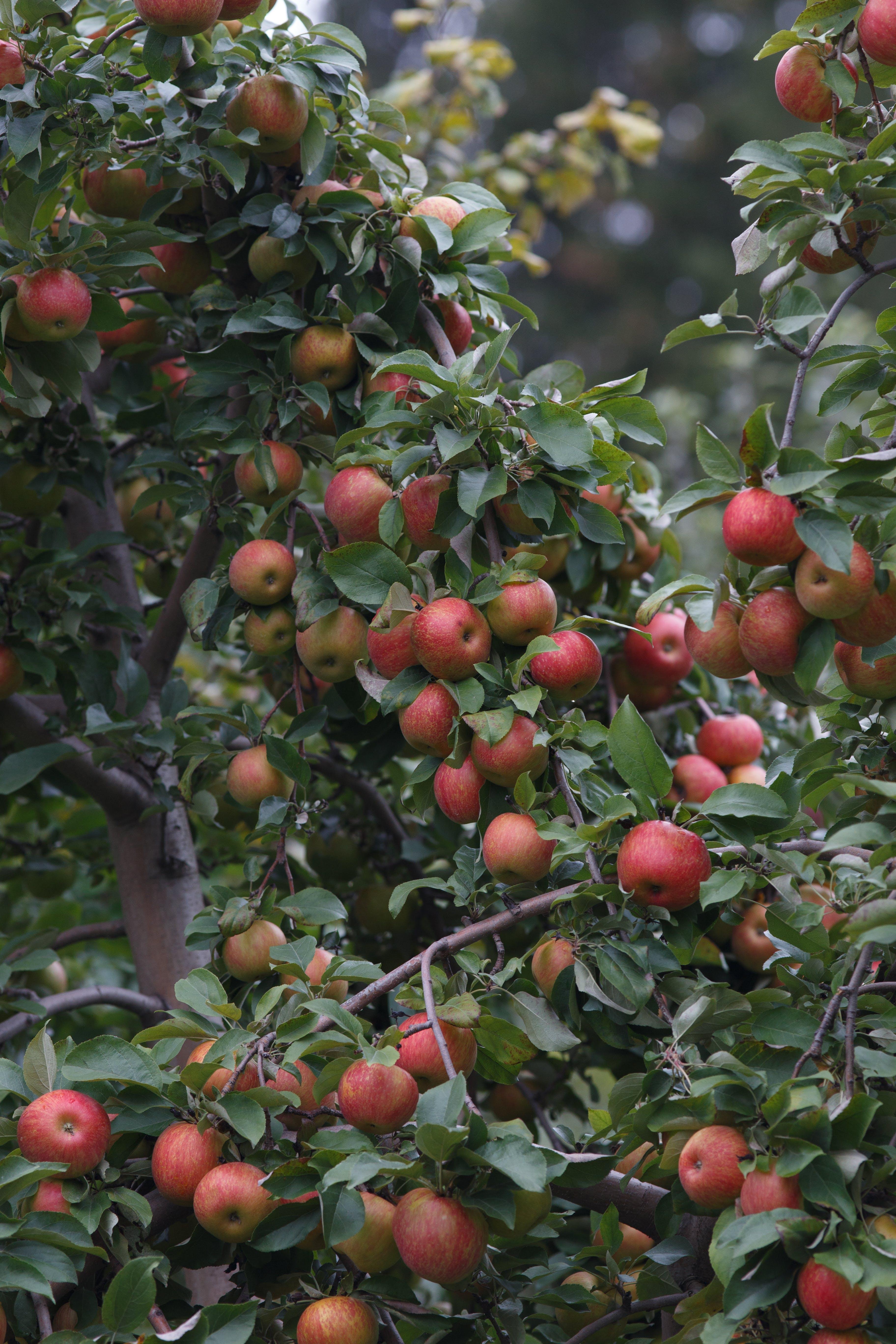Honeycrisp in the Tree