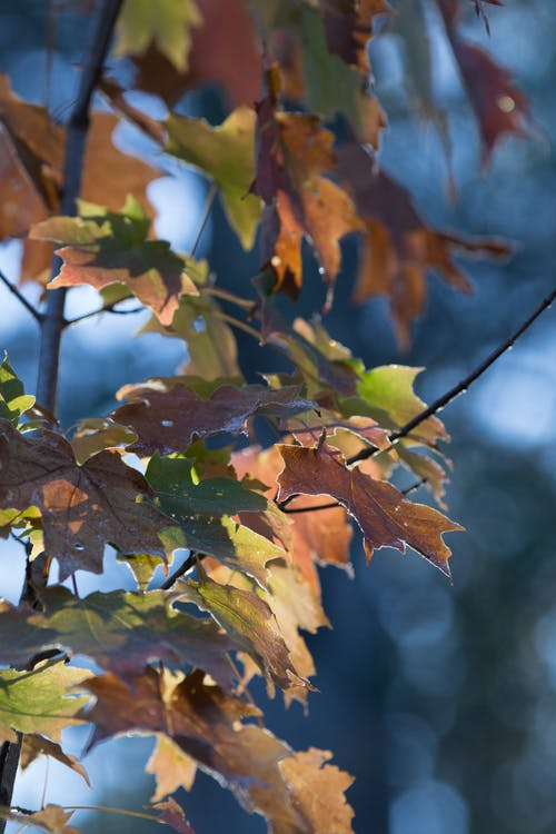 Brown and Green Maple Tree Leaves