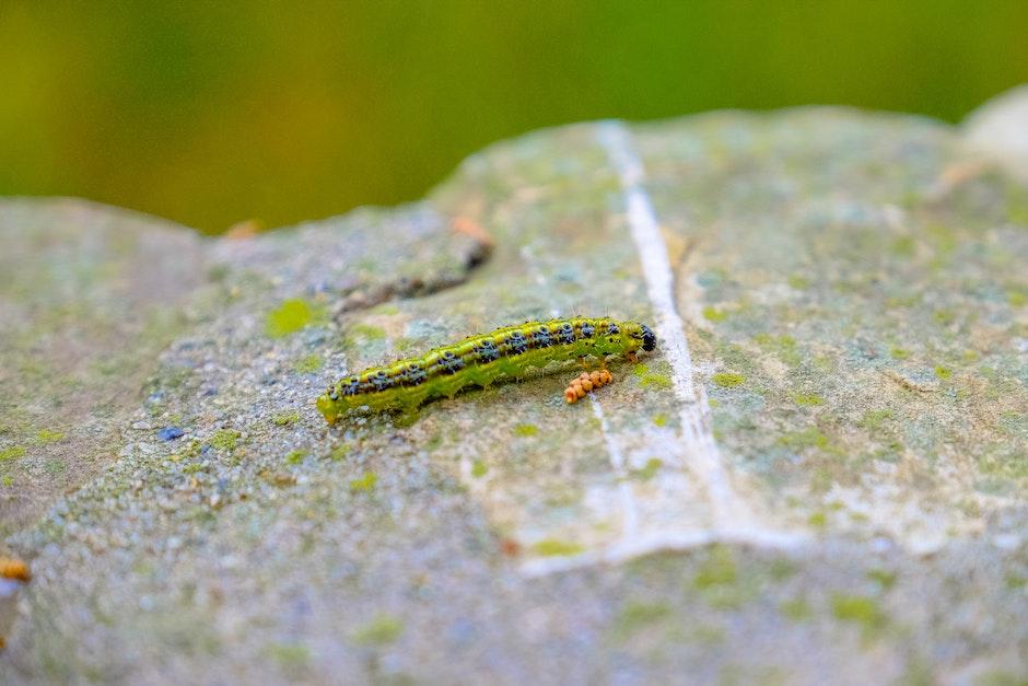 animal, caterpillar, insect