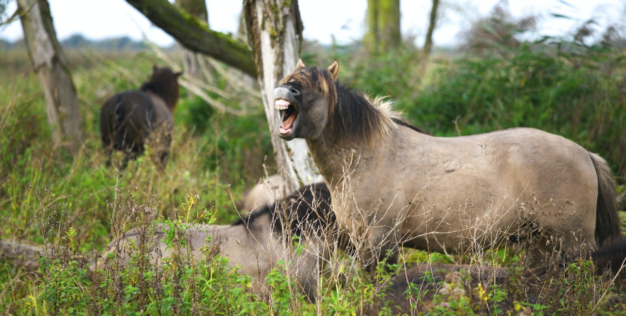Three Brown Horses in Forest