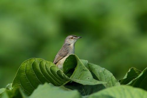Free stock photo of #bird, #green, #nature, #prinia