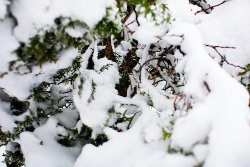 Kostnadsfri bild av isig, kall, snö, träd