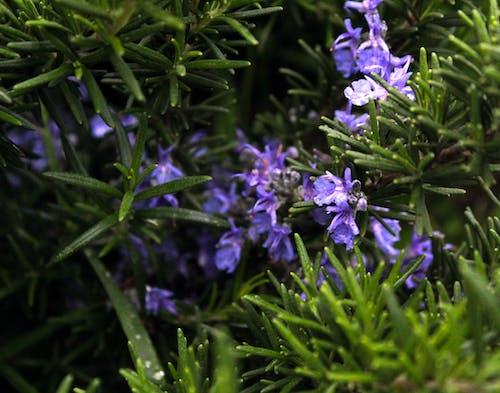 Základová fotografie zdarma na téma fialová kytka, rozmarýn, zelená