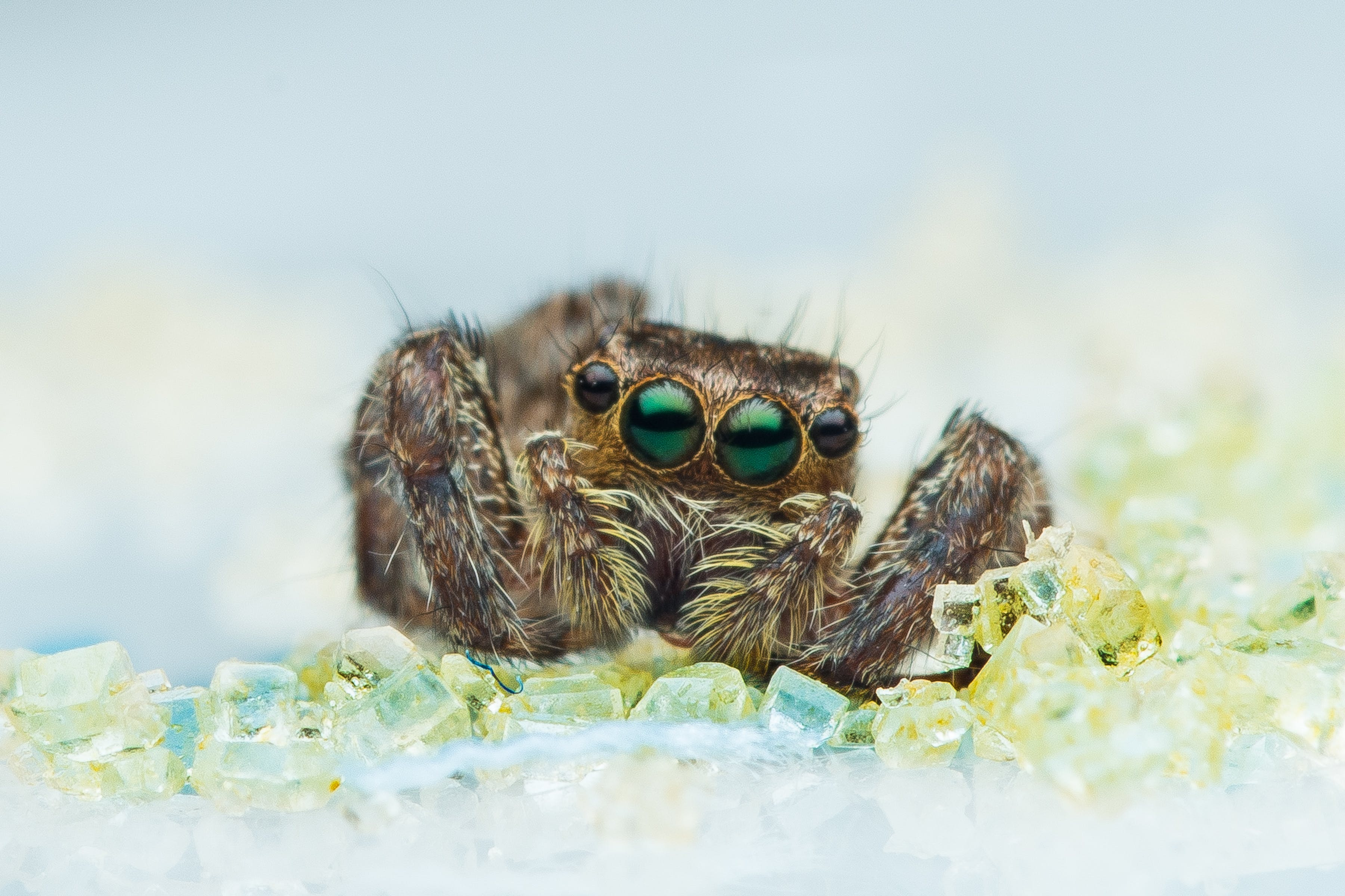 Brown Jumping Spider in Macro Photography