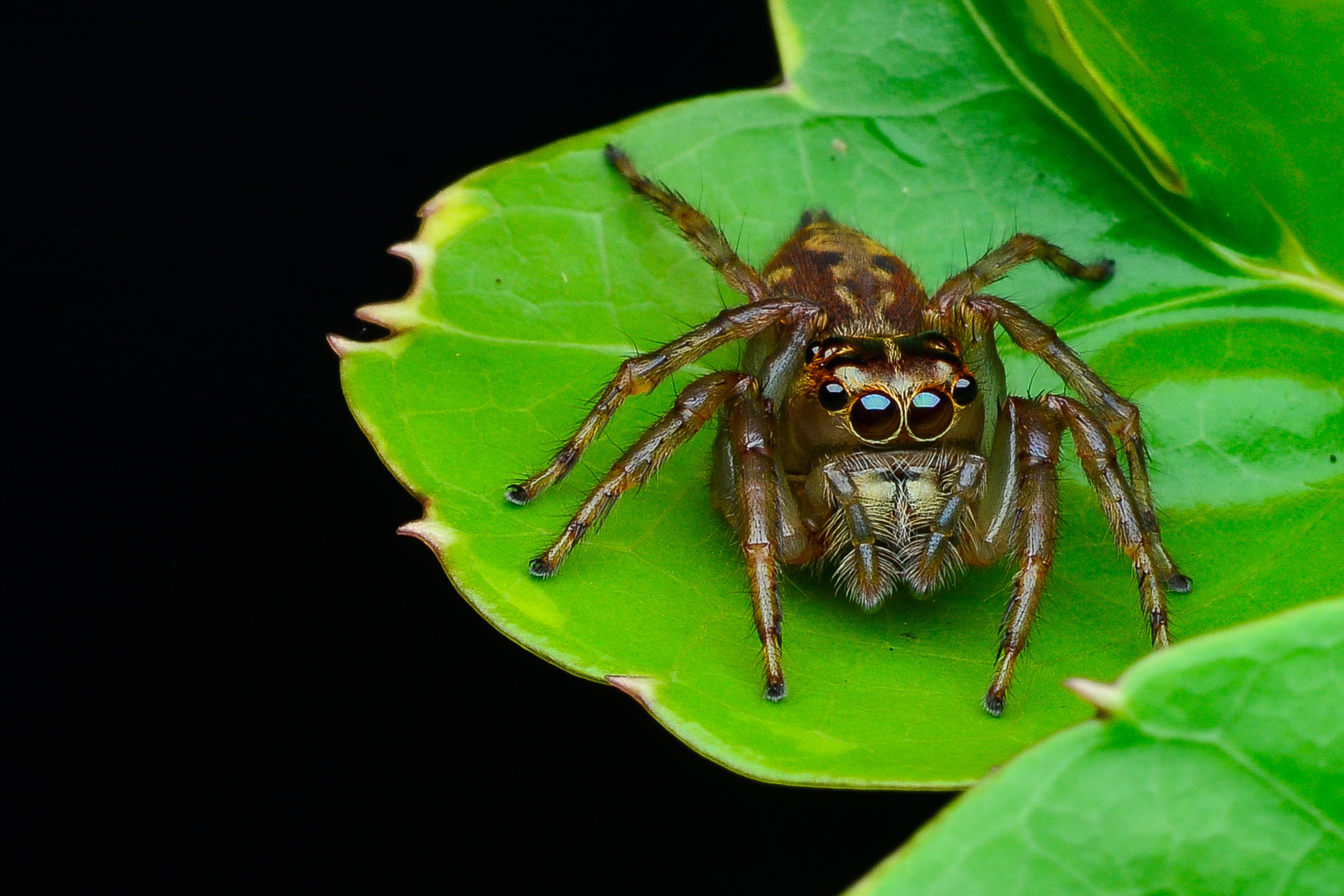 Brown Jumping Spider on Green Leaf Plant