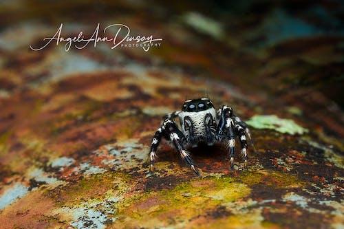 Foto stok gratis laba-laba, laba-laba melompat