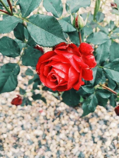 Kostenloses Stock Foto zu rote rose, schöne blume