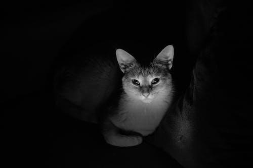 Безкоштовне стокове фото на тему «відтінки сірого, впритул, домашній кіт»