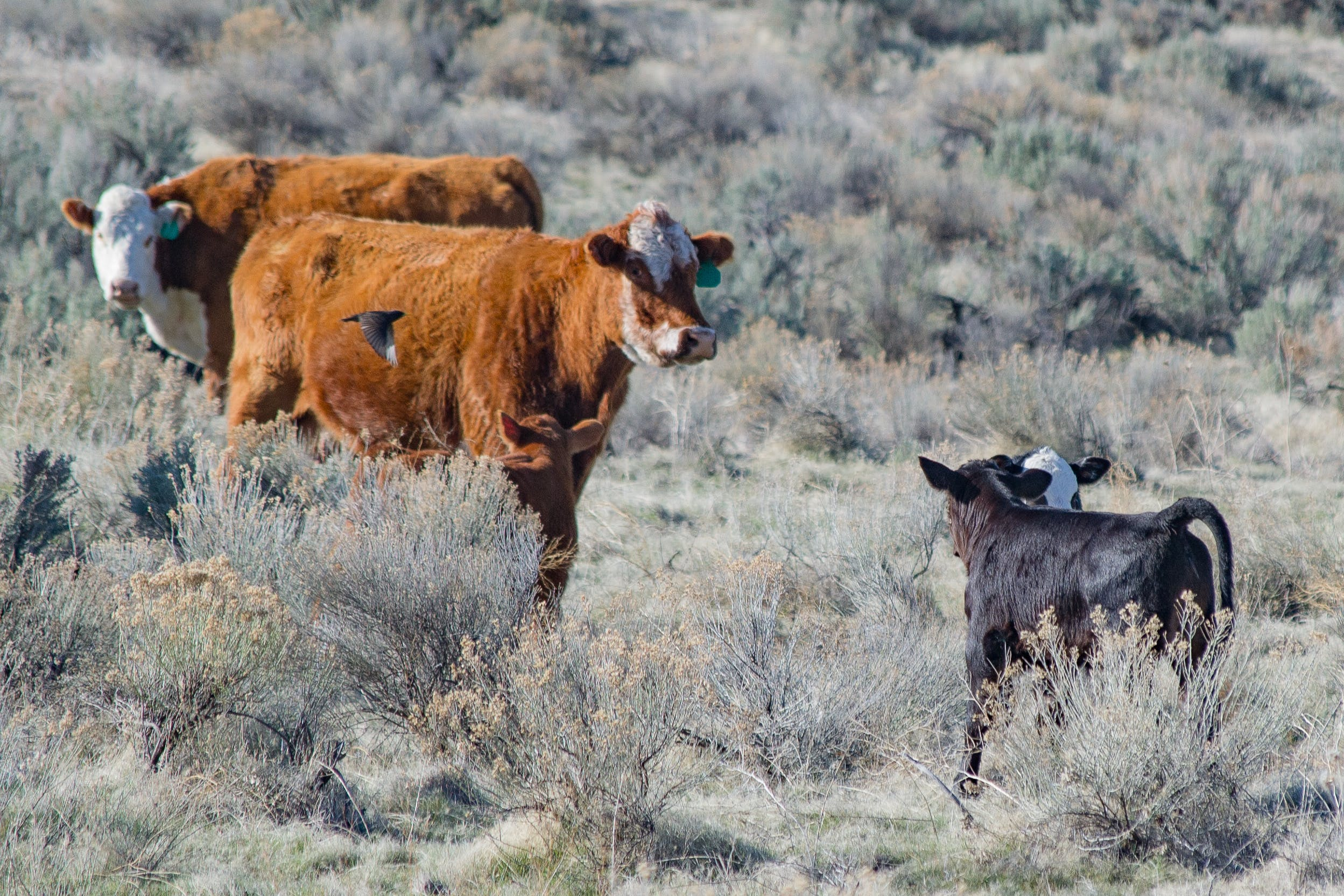 Brown and White Cattle
