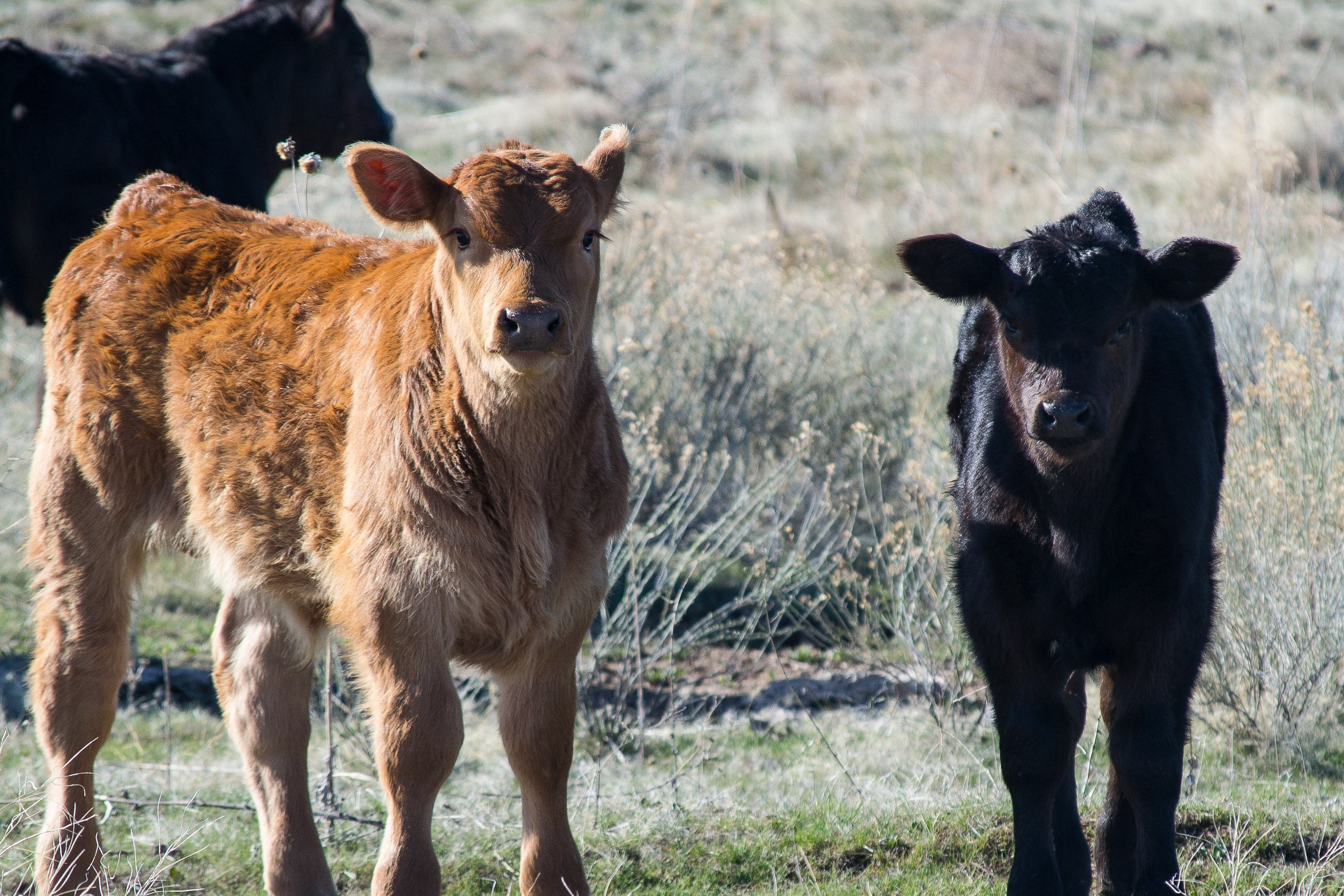 Brown and Black Cattle