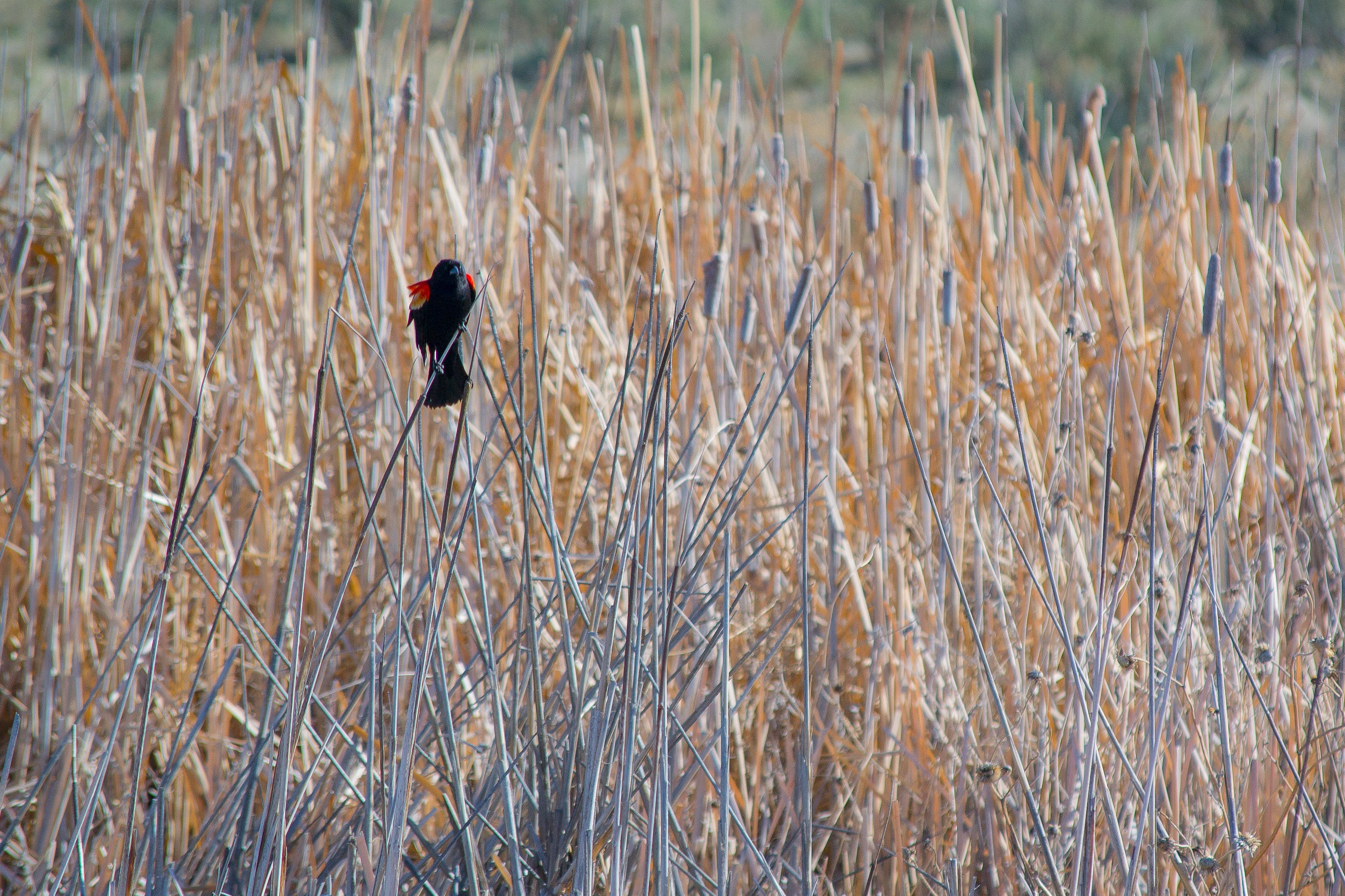 Red and Black Bird in the Middle of Field