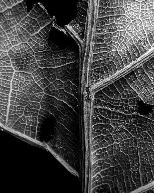 Free stock photo of ant, big leaf, black and white