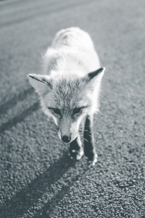 Grayscale Photo of a Fox