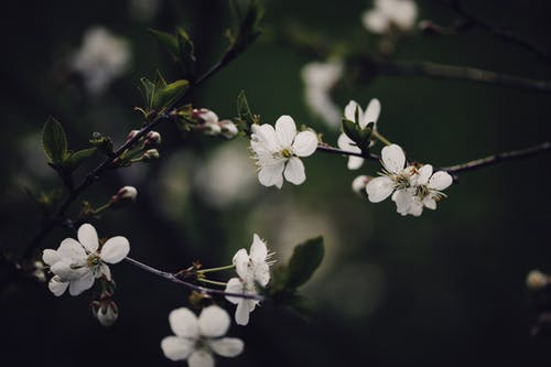 Close-Up Shot of White Cherry Blossoms in Bloom