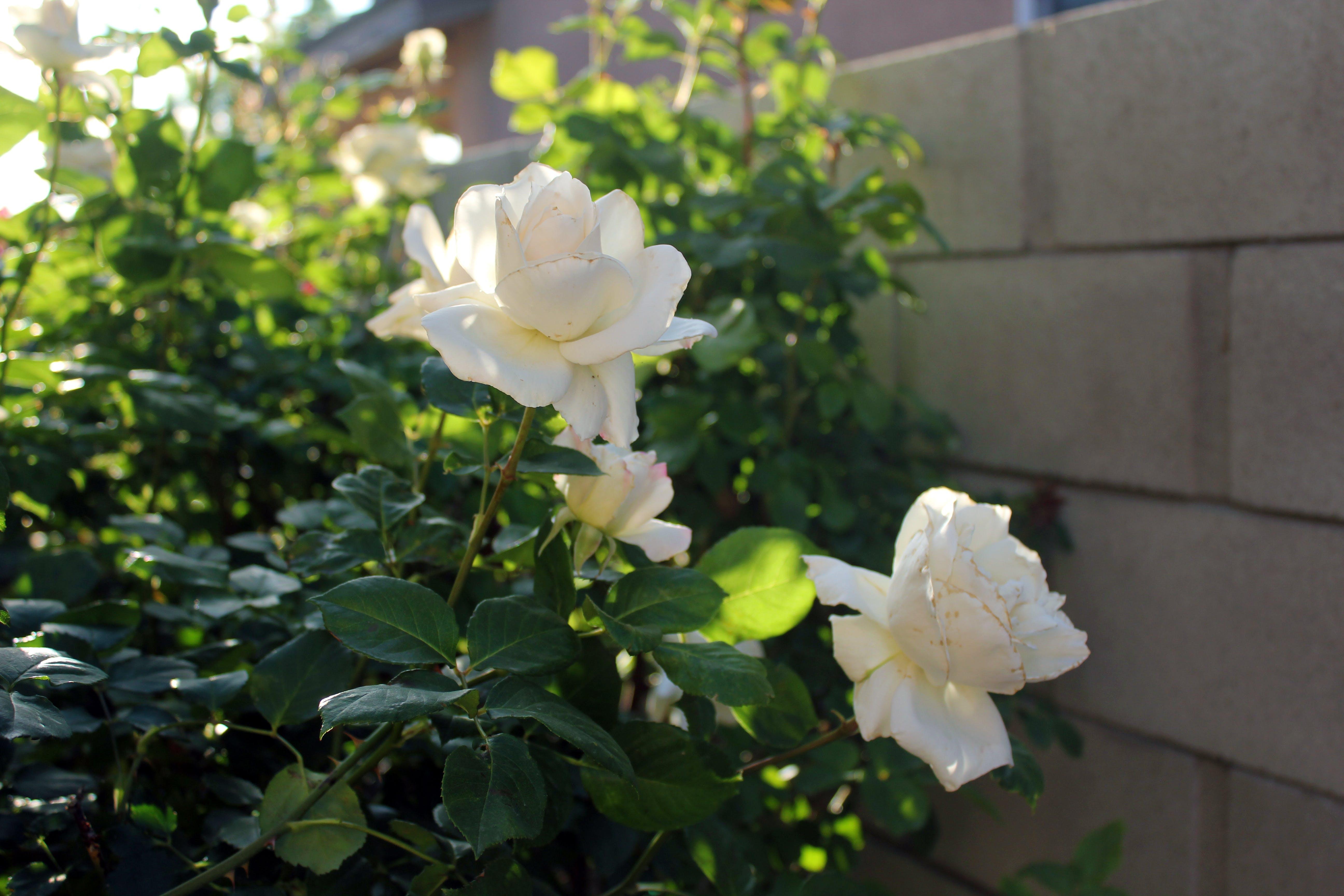 Free stock photo of white rose