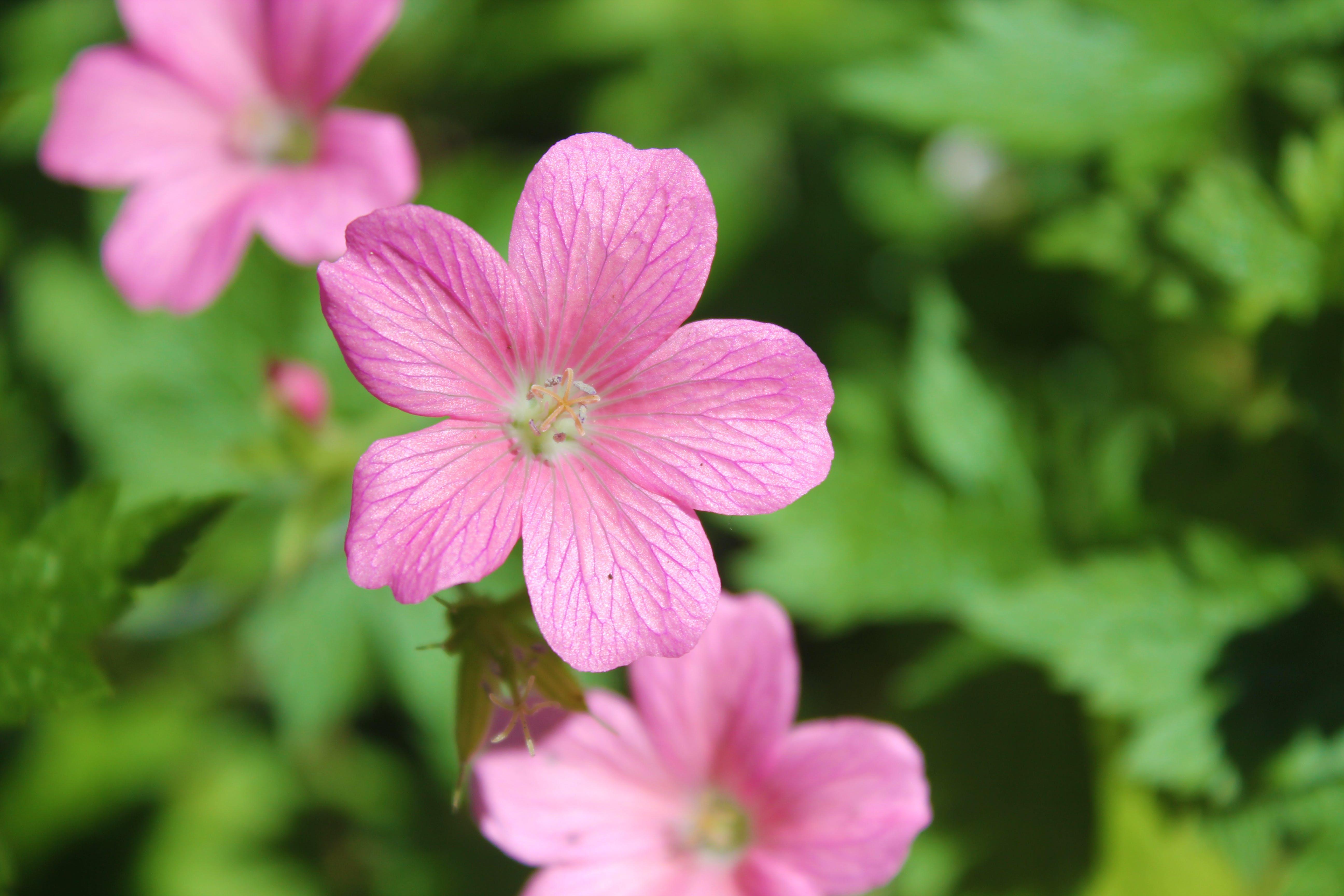 Free stock photo of pink daisy