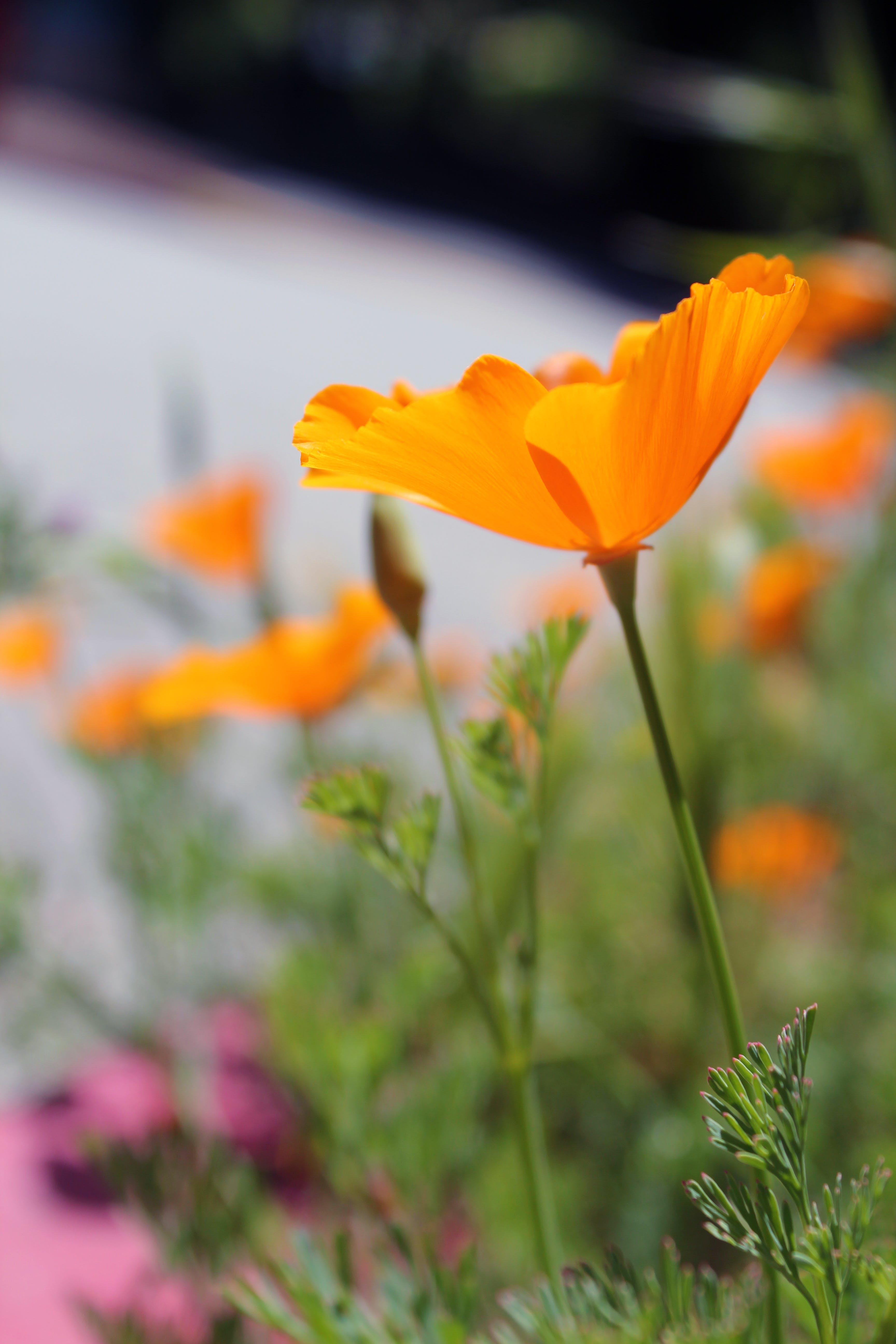 Free stock photo of poppy