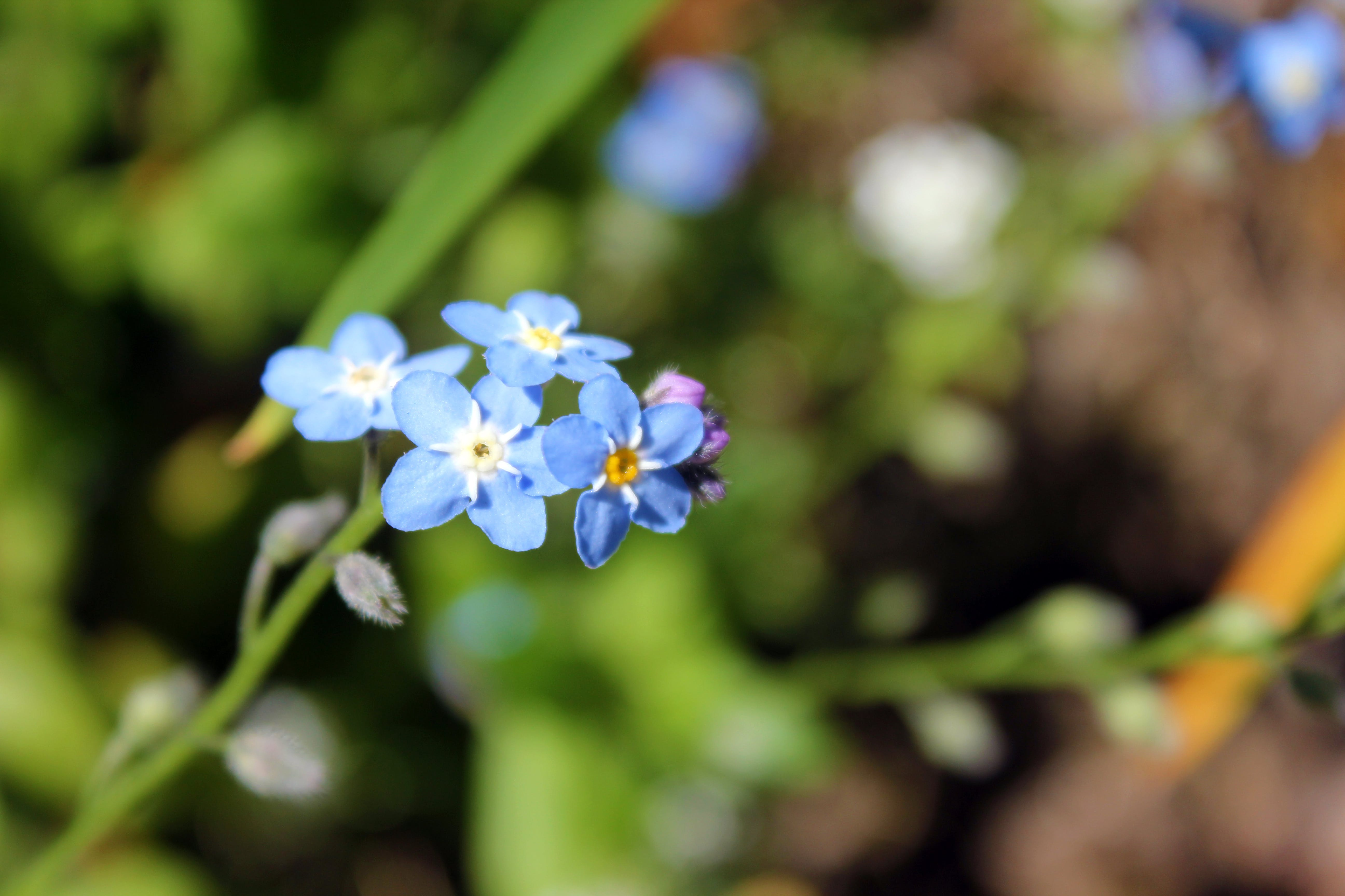 Free stock photo of forget me not