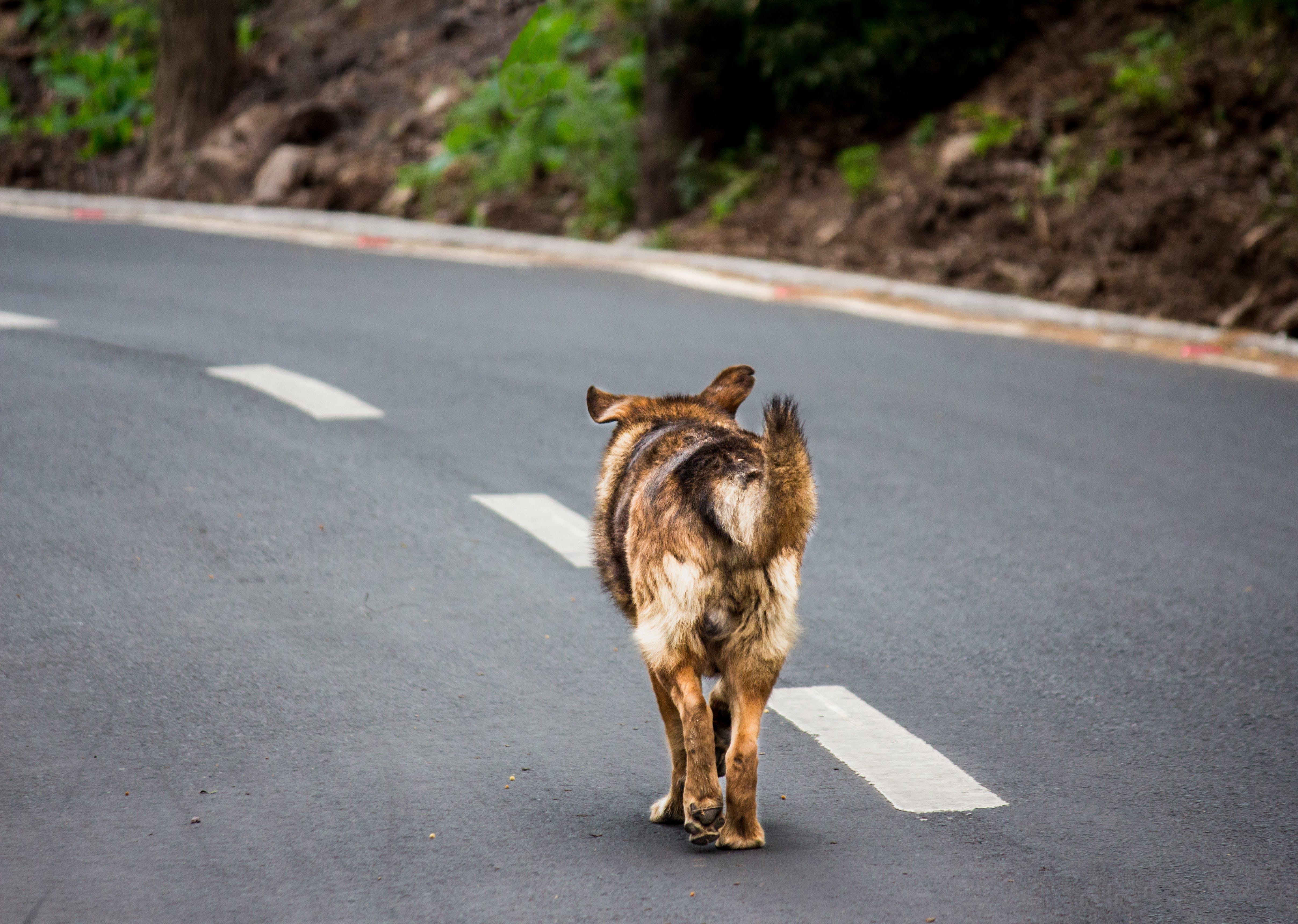Photo of Adult Brown and Tan German Shepherd Walking on Roadway