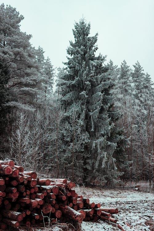 Základová fotografie zdarma na téma borovice, jedle, jehličnan