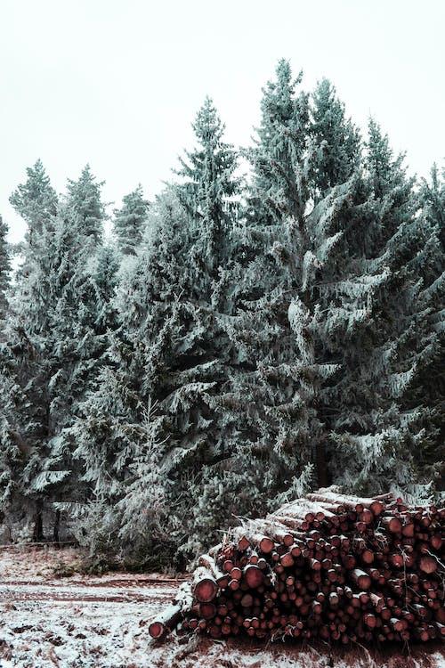 drzewa, dzień, jodły
