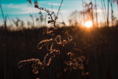 Kostnadsfri bild av bakgrundsbelyst, fält, gryning, guld