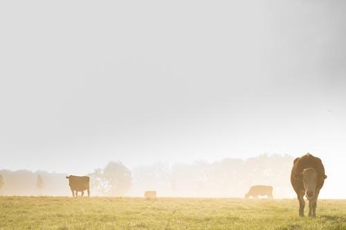 Ảnh lưu trữ miễn phí về bò cái, nông trại, đất trồng cỏ, đồng cỏ