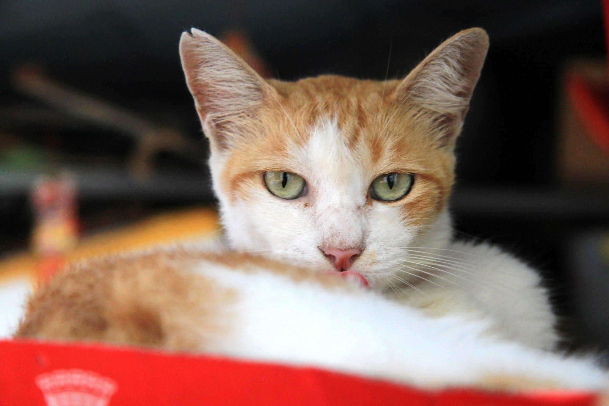 Foto profissional grátis de animal, cara de gato, concentração, gato