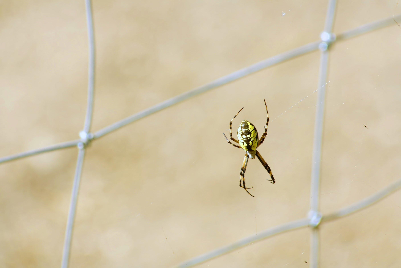 Gratis arkivbilde med edderkopp, hage edderkopp, insekt