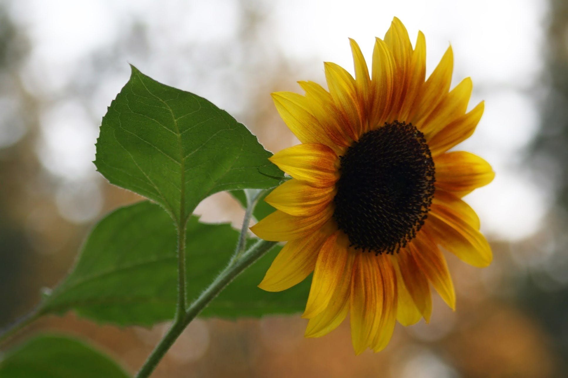 Gratis arkivbilde med blomst, solsikke