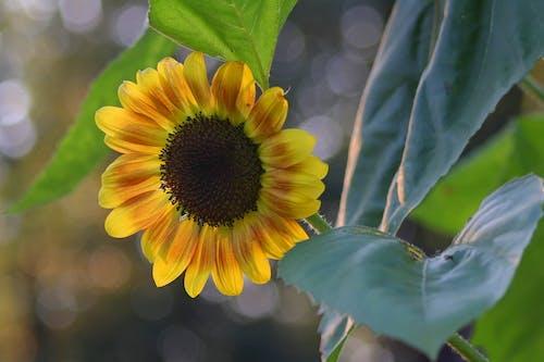 Darmowe zdjęcie z galerii z słonecznik