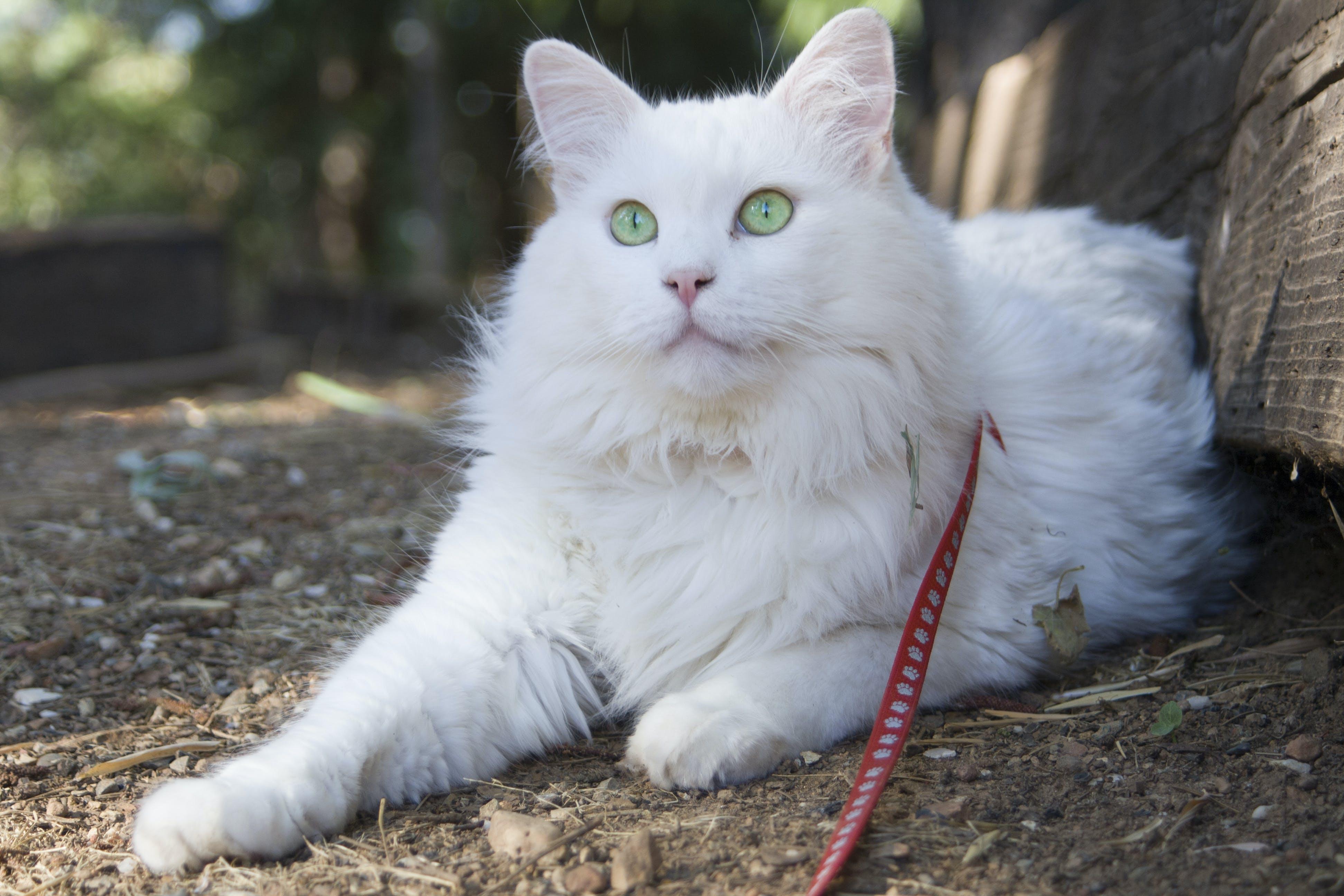 Gratis arkivbilde med grønne øyne, hvit, katt