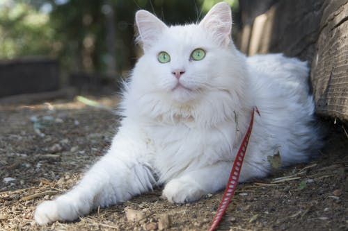 Photos gratuites de blanc, chat, yeux verts