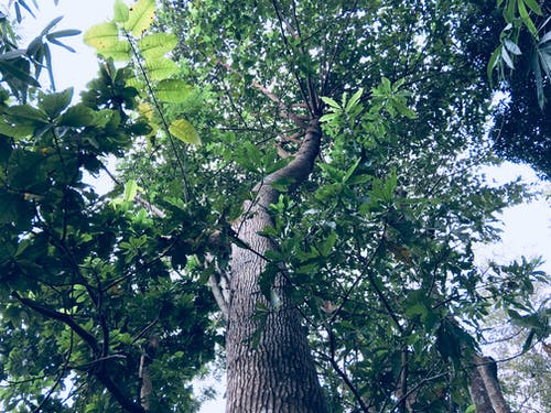 Worm's Eye View of Green Leaf Tree