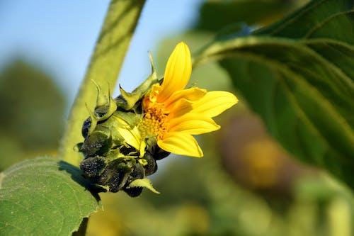 Immagine gratuita di fiore, fiore del sole, giallo, sole