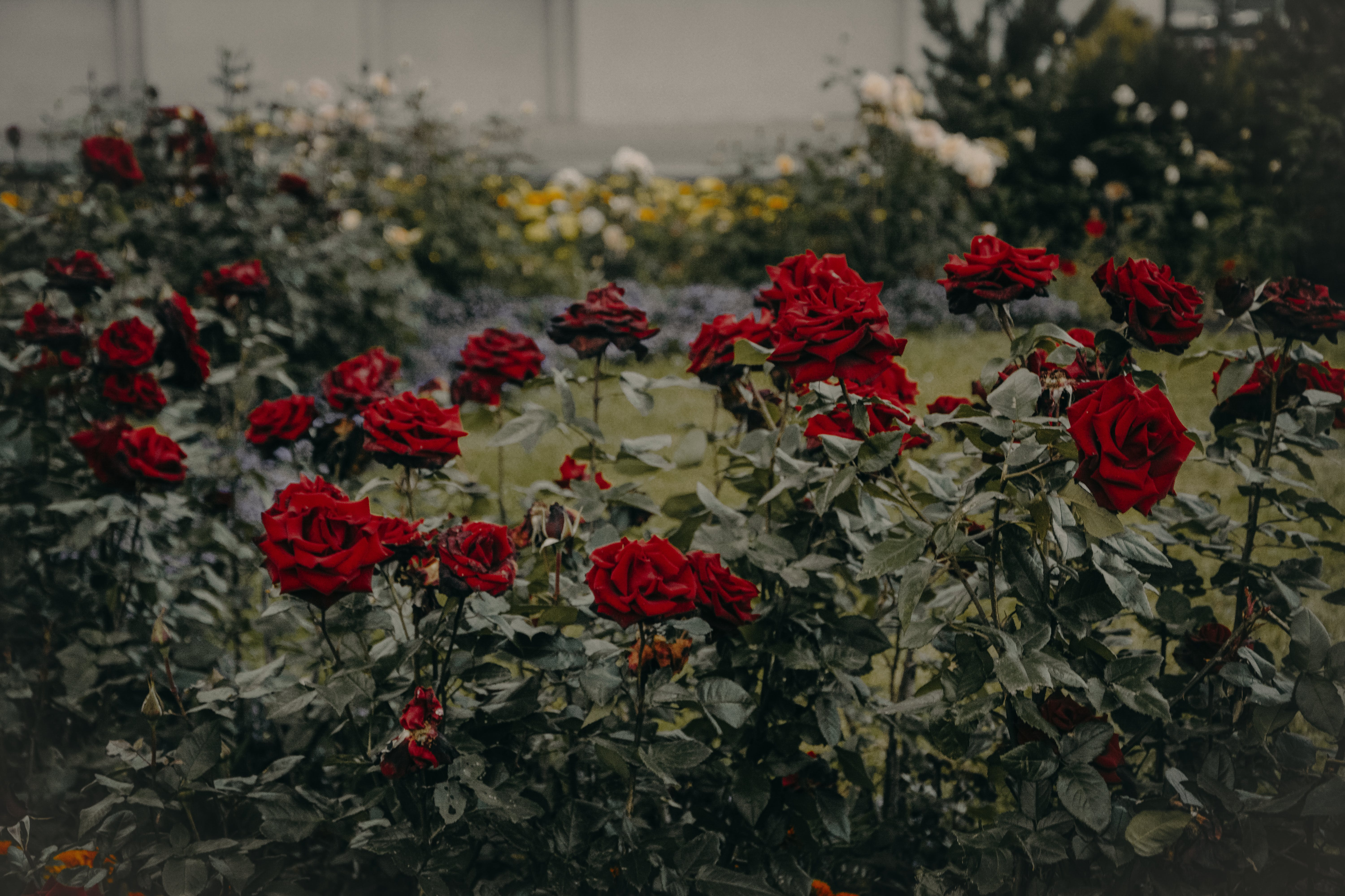 Red Roses Garden in Bloom