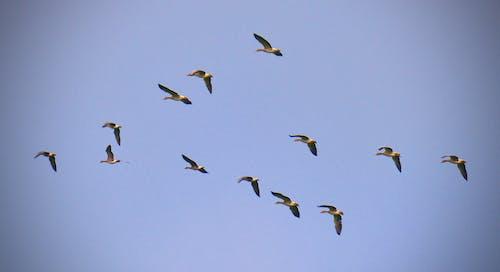 Ilmainen kuvapankkikuva tunnisteilla lintuparvi