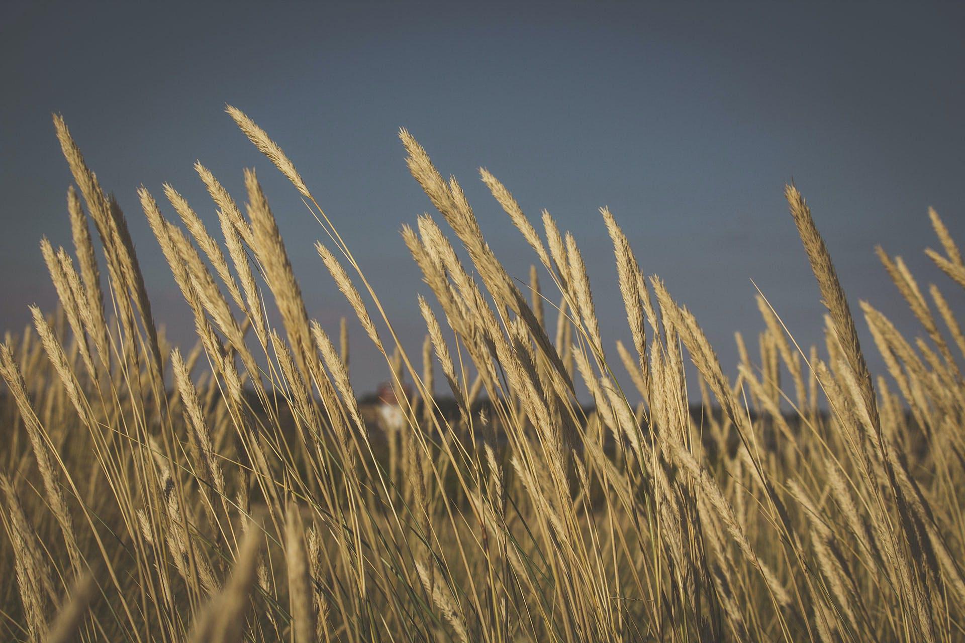 Close-up Photography of Pampas Grass