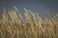 field, agriculture, wheat