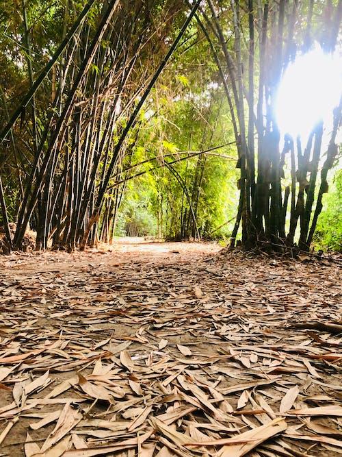 Free stock photo of bamboo, bamboo steamer, bamboo trees