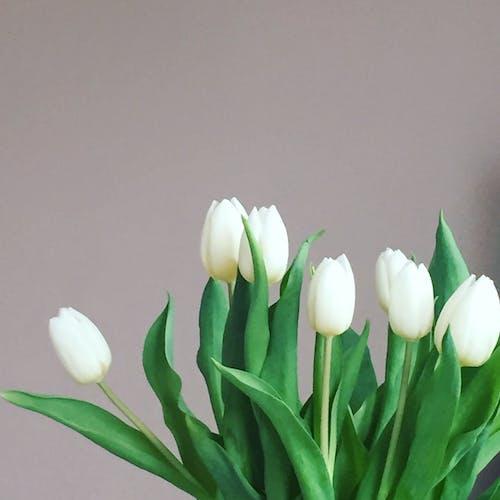 Free stock photo of tulpen tulips