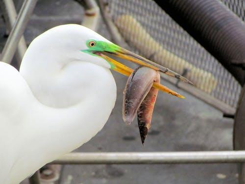 佛羅里達, 佛羅里達大沼澤地, 大白鷺, 白鷺 的 免費圖庫相片