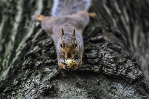 Fotos de stock gratuitas de animal, animal salvaje, ardilla, comiendo