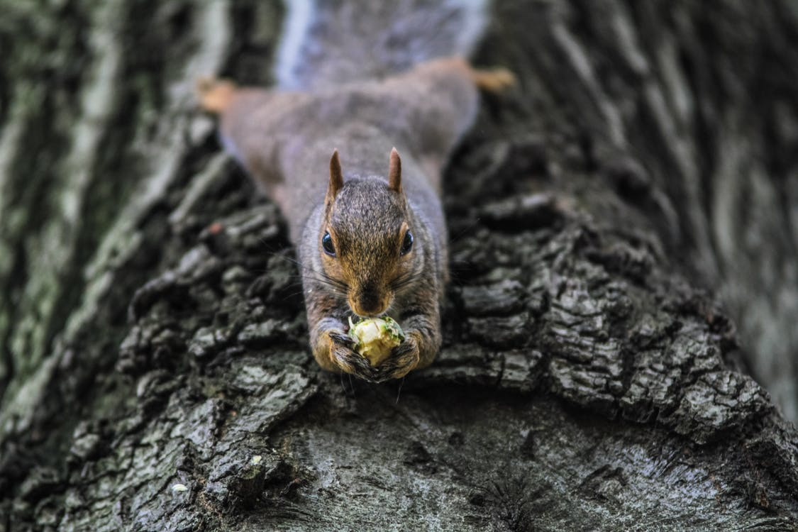 Brown Squirrel on Tree Bark