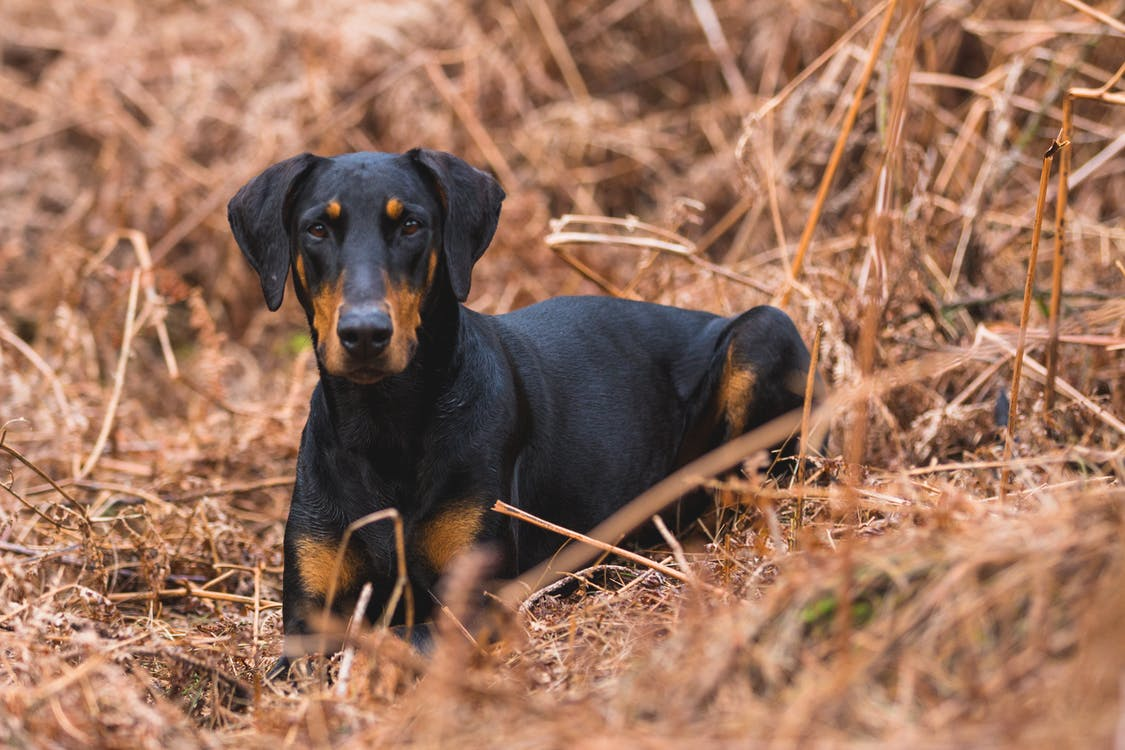 Short-coated Black and Brown Dog on Brown Grass Field