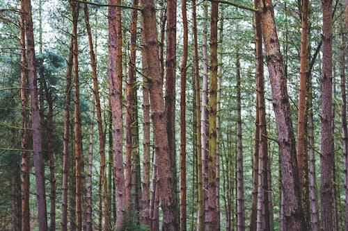 Photos gratuites de à feuilles persistantes, aboiement, arbre, conifère
