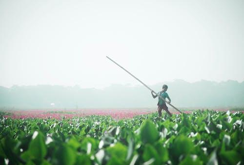 Foto d'estoc gratuïta de camp, camps de cultiu, creixement, créixer