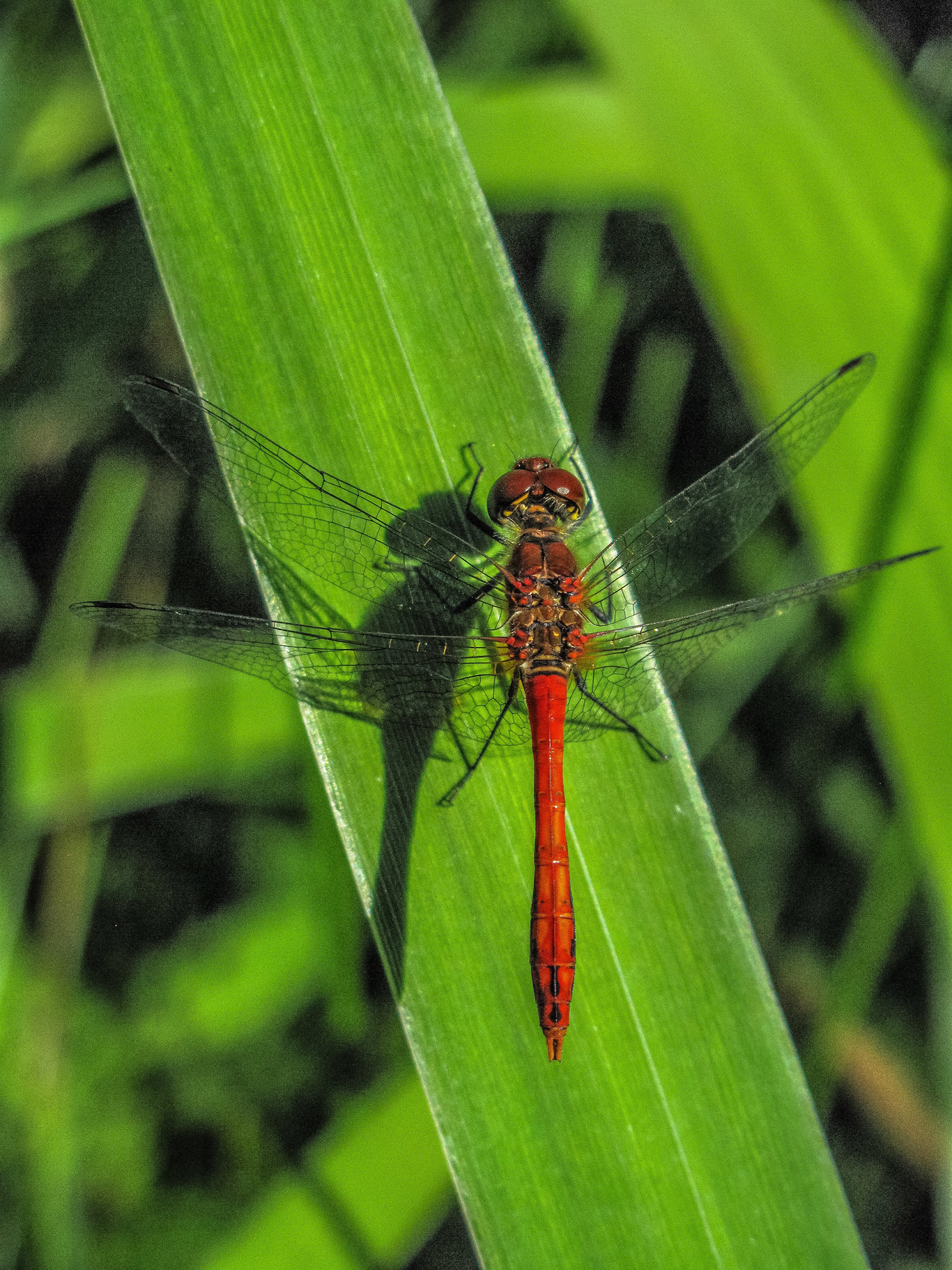 Red Dragonfly on Green Leaf Close-up Photography